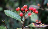 frutos sem lenticelas da sorveira-branca, botoeiro, mostajeiro-branco – Sorbus aria