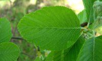 página superior da sorveira-branca, botoeiro, mostajeiro-branco – Sorbus aria