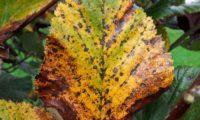 página superior, outonal da sorveira-branca, botoeiro, mostajeiro-branco – Sorbus aria