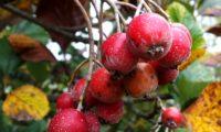 sorvas maduras com lenticelas da sorveira-branca, botoeiro, mostajeiro-branco – Sorbus aria