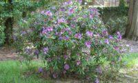 Aspecto geral do rododendro, loendro, adelfeira