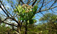 folhas primaveris e botões de sorveira, sorva – Sorbus domestica