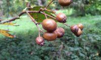 pomos de mostajeiro, mostajeiro-das-cólicas – Sorbus torminalis