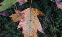 página superior de mostajeiro, mostajeiro-das-cólicas, aspecto outonal – Sorbus torminalis