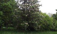 hábito juvenil - porte colunar - de mostajeiro, mostajeiro-das-cólicas – Sorbus torminalis