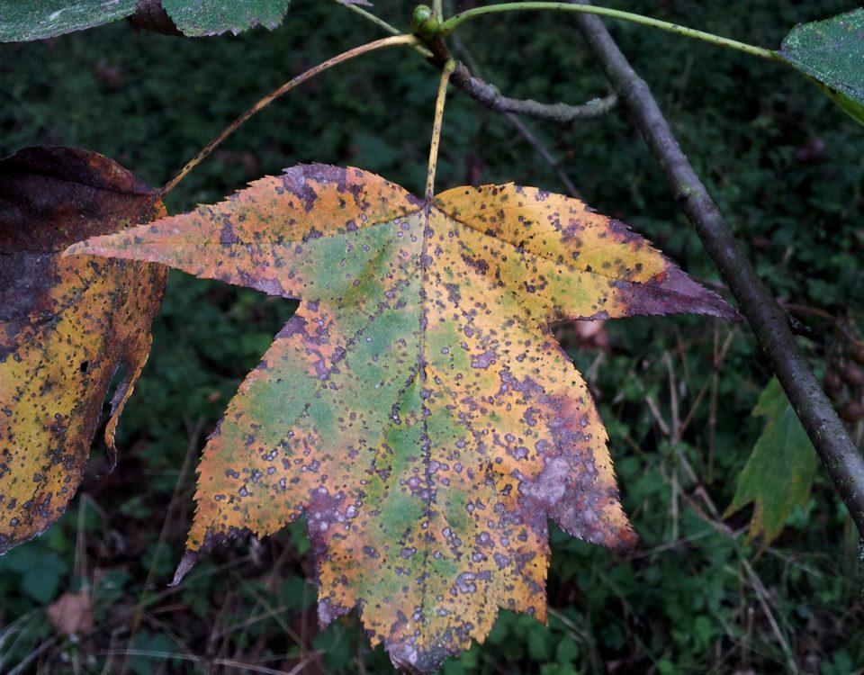página superior de mostajeiro, mostajeiro-das-cólicas, cores outonais – Sorbus torminalis