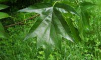 página superior glabra, verde-escuro brilhante de mostajeiro, mostajeiro-das-cólicas – Sorbus torminalis