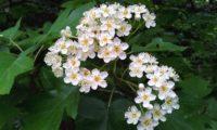 corimbo de mostajeiro, mostajeiro-das-cólicas – Sorbus torminalis