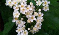 corimbo, flores e botões de mostajeiro, mostajeiro-das-cólicas – Sorbus torminalis