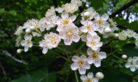 flores de mostajeiro, mostajeiro-das-cólicas – Sorbus torminalis