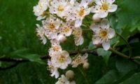 flores e botões de mostajeiro, mostajeiro-das-cólicas – Sorbus torminalis