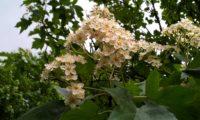 corimbos de mostajeiro, mostajeiro-das-cólicas – Sorbus torminalis