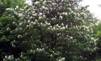 hábito juvenil em floração de mostajeiro, mostajeiro-das-cólicas – Sorbus torminalis