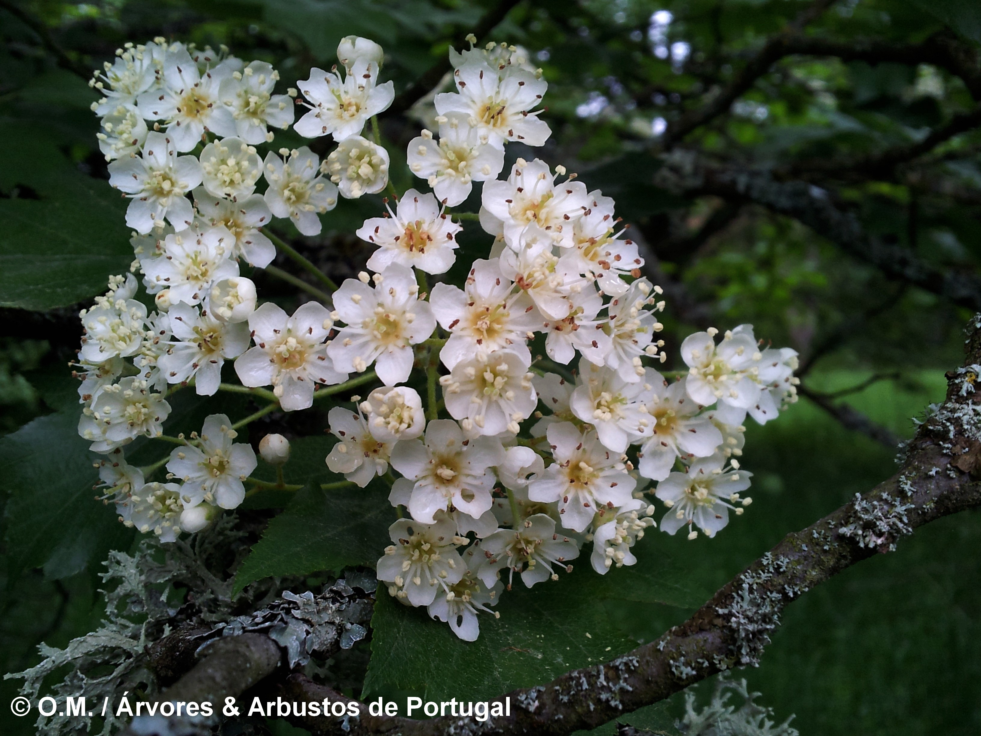 inflorescência de mostajeiro, mostajeiro-das-cólicas – Sorbus torminalis