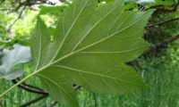 página inferior de mostajeiro,mostajeiro-das-cólicas – Sorbus torminalis