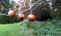 pomos maduros de mostajeiro, mostajeiro-das-cólicas – Sorbus torminalis