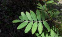 página superior composta da sorveira, sorva – Sorbus domestica