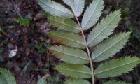página inferior composta, margens serradas da sorveira, sorva – Sorbus domestica