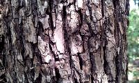 ritidoma de sorveira, sorva adulta – Sorbus domestica