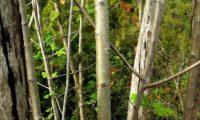 ritidoma juvenil com lenticelas de sorveira, sorva – Sorbus domestica