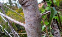 ritidoma juvenil com lenticelas bem aparentes de sorveira, sorva – Sorbus domestica