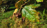 frutos, gemas e folhas de mostajeiro, mostajeiro-das-cólicas – Sorbus torminalis