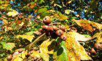 frutos e folhas outonais de mostajeiro, mostajeiro-das-cólicas – Sorbus torminalis