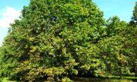 hábito adulto, copa abobada de mostajeiro, mostajeiro-das-cólicas – Sorbus torminalis