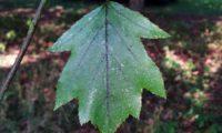 página superior de mostajeiro, mostajeiro-das-cólicas com longo pecíolo – Sorbus torminalis