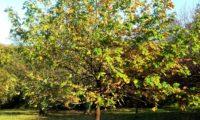 hábito adulto isolado, copa abobado de sorveira, sorva – Sorbus domestica