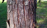 ritidoma de sorveira, sorva – Sorbus domestica