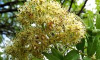 corimbo de flores de sorveira, sorva – Sorbus domestica