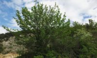 hábito adulto isolado, copa arredondada de sorveira, sorva em flor – Sorbus domestica