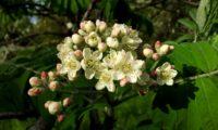 flores e botões de sorveira, sorva – Sorbus domestica