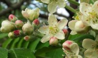 flores e botões de sorveira, sorva, pormenor – Sorbus domestica