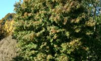 hábito adulto, copa abobada de sorveira, sorva – Sorbus domestica