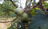 sorvas imaturas de sorveira, sorva, solveira – Sorbus domestica
