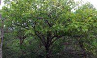 hábito adulto, copa abobado de sorveira, sorva – Sorbus domestica