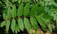 página superior composta de tramazeira, cornogodinho, sorveira-brava – Sorbus aucuparia