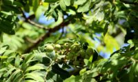 sorvas agrupadas, imaturas de sorveira, sorva – Sorbus domestica
