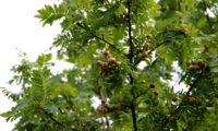 aspecto parcial de sorvas imaturas de sorveira, sorva – Sorbus domestica