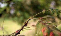 gomo de sorveira, sorva – Sorbus domestica