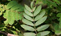 página inferior composta da sorveira – Sorbus domestica