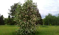 hábito florido de tramazeira, cornogodinho, sorveira-brava - Sorbus aucuparia