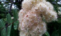 corimbo de tramazeira, cornogodinho, sorveira-brava – Sorbus aucuparia