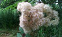 flores de tramazeira, cornogodinho, sorveira-brava – Sorbus aucuparia