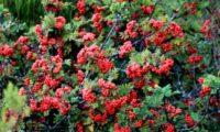 aspecto arbustivo da tramazeira-da-madeira, sorveira-da-madeira no meio natural - Sorbus maderensis