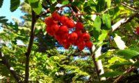 pomos maduros de tramazeira, cornogodinho, sorveira-brava – Sorbus aucuparia