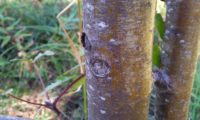 ritidoma jovem de tramazeira, cornogodinho, sorveira-brava - Sorbus aucuparia