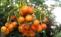 pomos imaturos de tramazeira, cornogodinho, sorveira-brava – Sorbus aucuparia